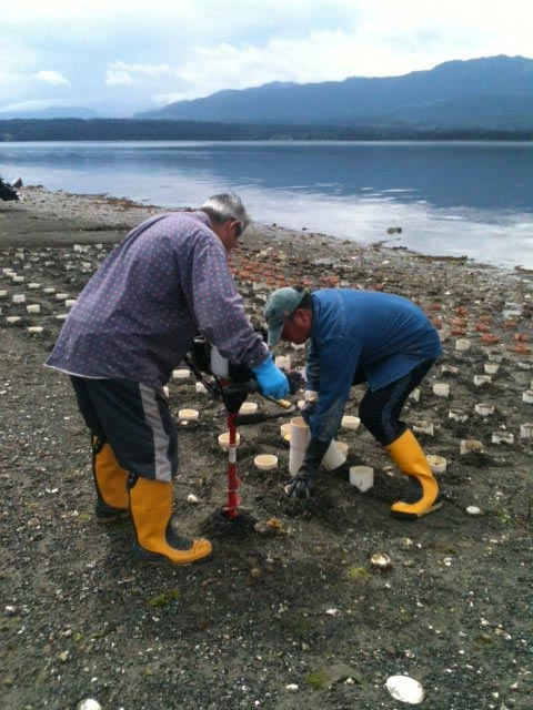 Two rubber-boot clad locals dig for geoducks on Denman Island